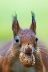 write without distractions red squirrel with nut